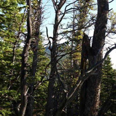 Estes Cone through the trees