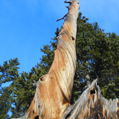 Twisted Bristlecone Pine - the twist strengthens the trunk against heavy wind.