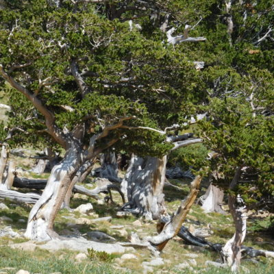 Old Bristle cone pines