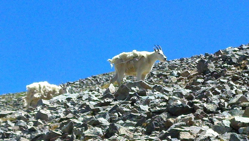 Mountain goats loosing their winter coats