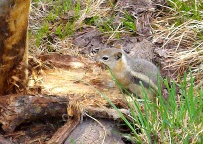 Chipmunk collecting bedding material