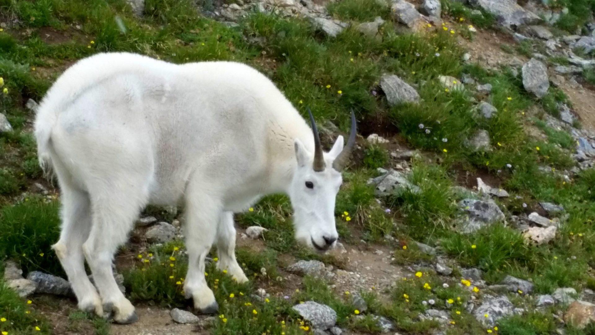 Mountain goat on the ridge
