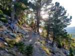 Winding through old Bristlecone Pines