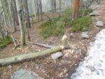 Beaver activity