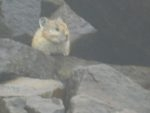 Pika on the summit