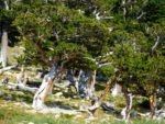 Old bristlecone forest