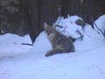 Coyote near Nymph Lake