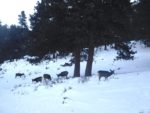 White tailed deer near the coyotes