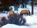 Male elk also nearby