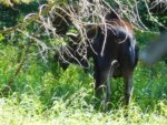 A moose in the thick underbrush along the trail