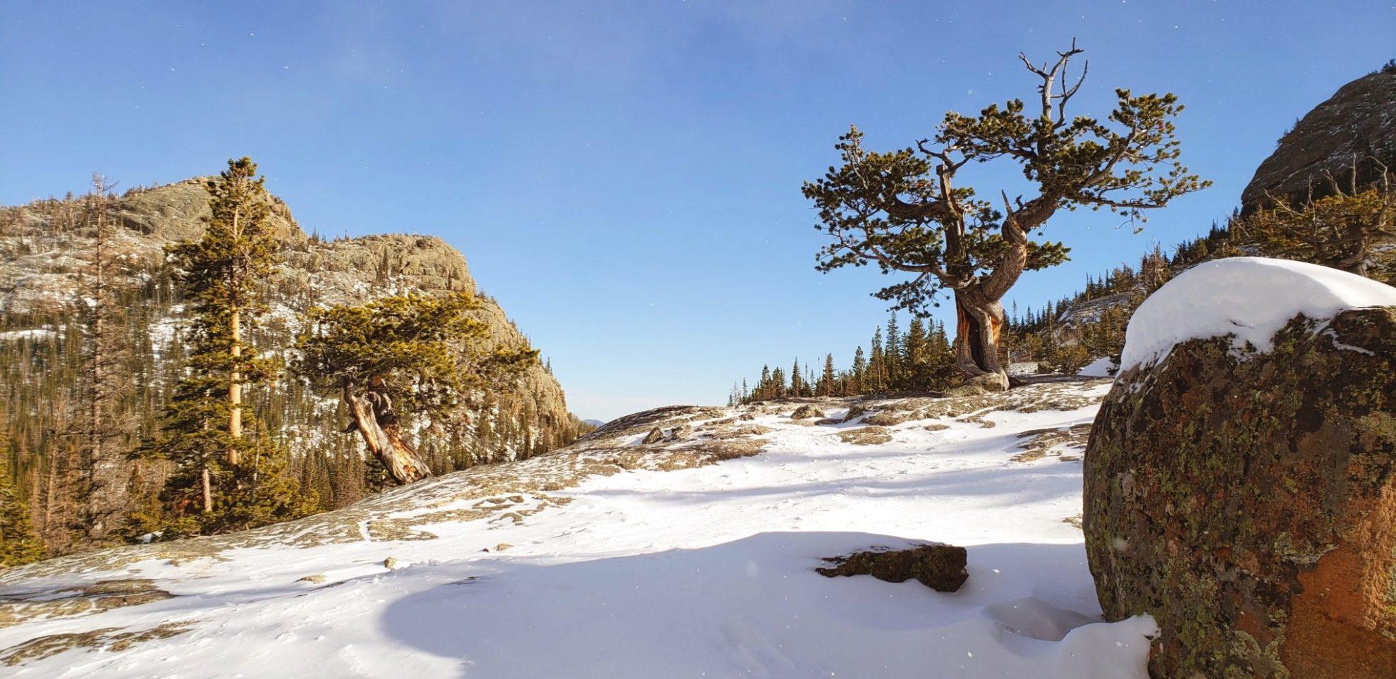 Bristle-cone pine trees