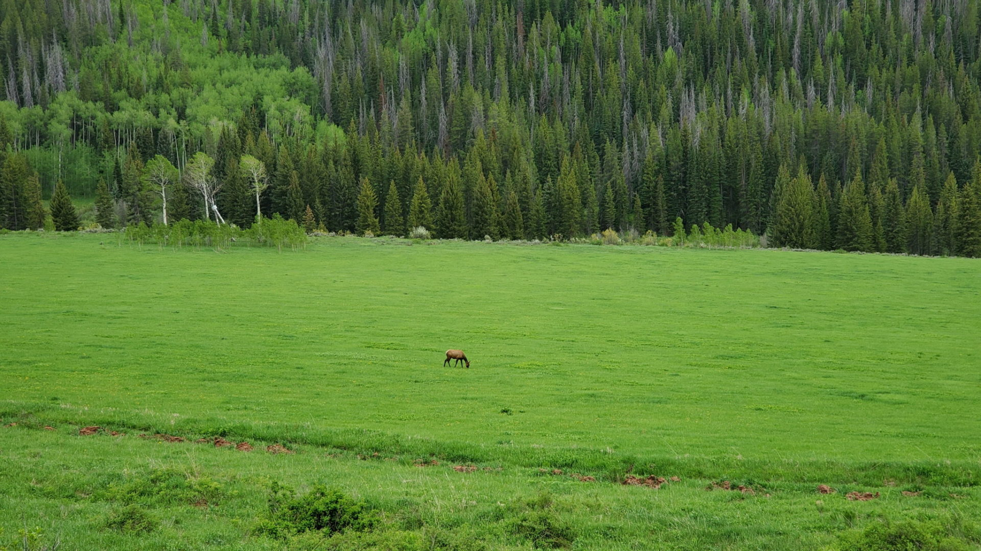 Elk in the lush western valley