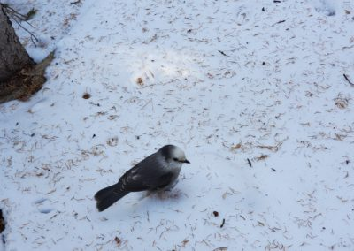 A Gray Jay hanging out
